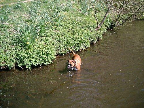 Hund geht ins Wasser