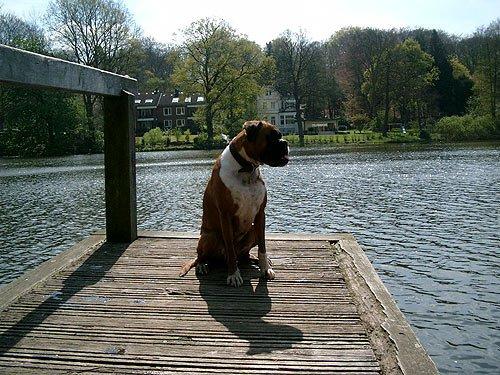 Hundebilder, Deutscher Boxer