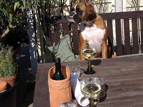 Boxer beim Weintrinken