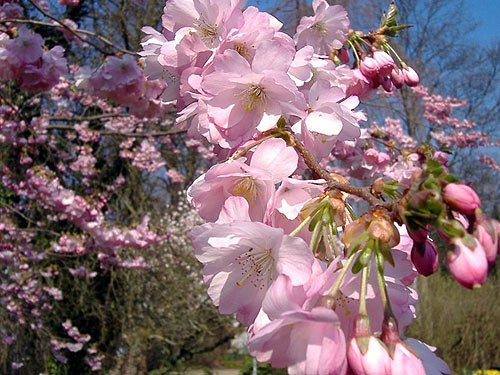 Japanische Kirschbluete sakura