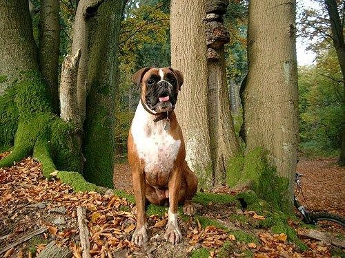Deutscher Boxer - Hundebilder - Boxer images