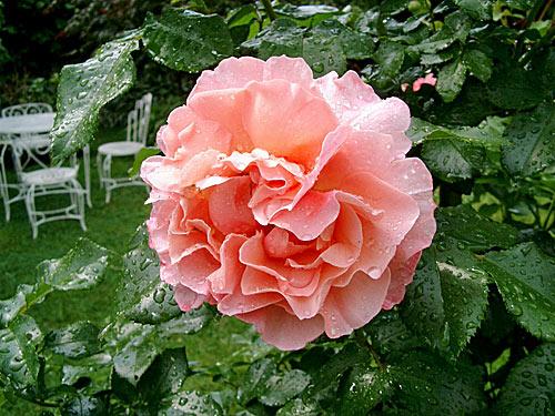 rosen-2.JPG
