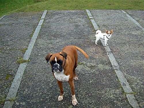 Boxer und Papillon - Hunde Bilder