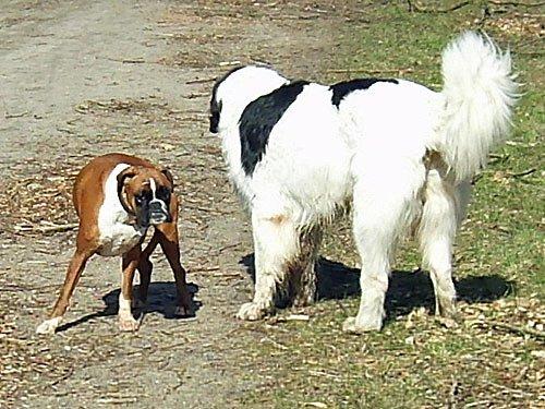 Hunde Bilder Boxer Sennenhund