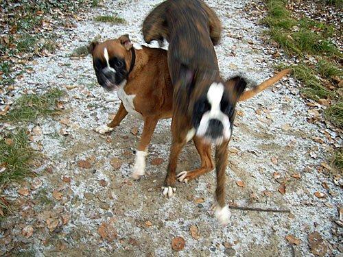 Deutscher Boxer - Hunde Bilder