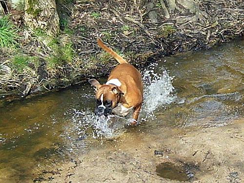 Fruehling - Hund badet in Bach
