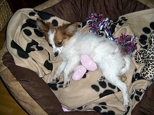 Zwergspaniel - Papillon - Hunde