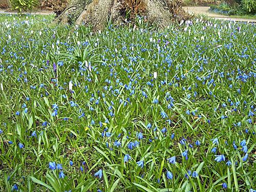 ruehling - Blumen - Blausterne Scilla