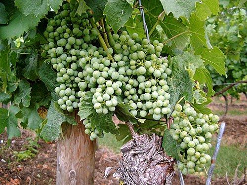 Wein - Frankenwein - Deutscher Weisswein