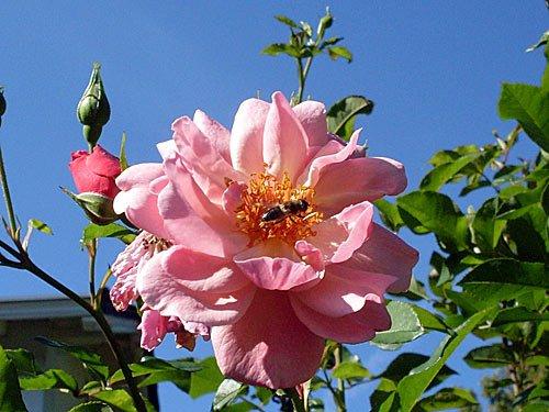 Rosen Bienen