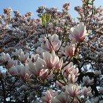 magnolien-4