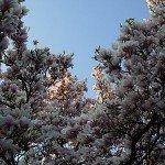 magnolien-5