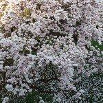 magnolien-6