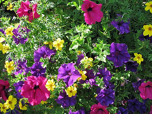 Garten-Petunie