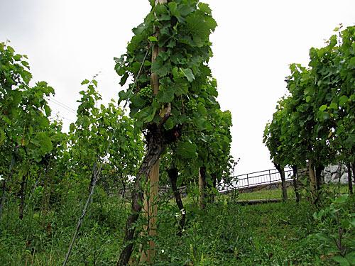 Wein wächst auch in Hamburg