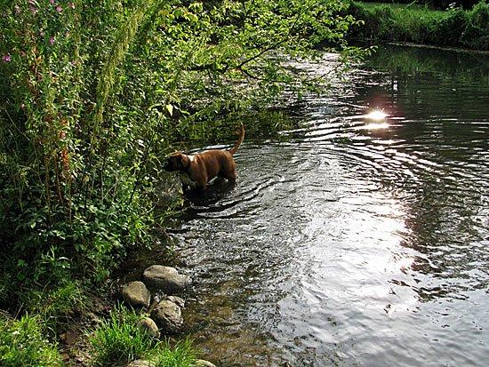 Hund badet in der Bille bei Bergedorf