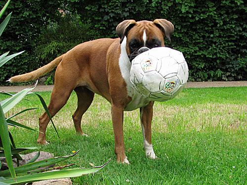 Hund Fussball
