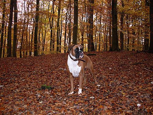 Herbstbild Boxer Hund