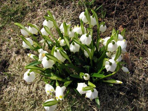 Frühling Schneeglöckchen