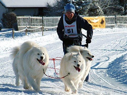 Schlittenhunderennen in der Schweiz