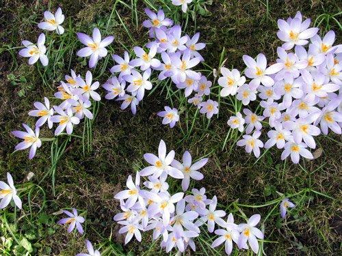 Krokusse Frühling