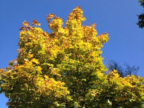 Herbstblätter Ahorn Herbstbilder