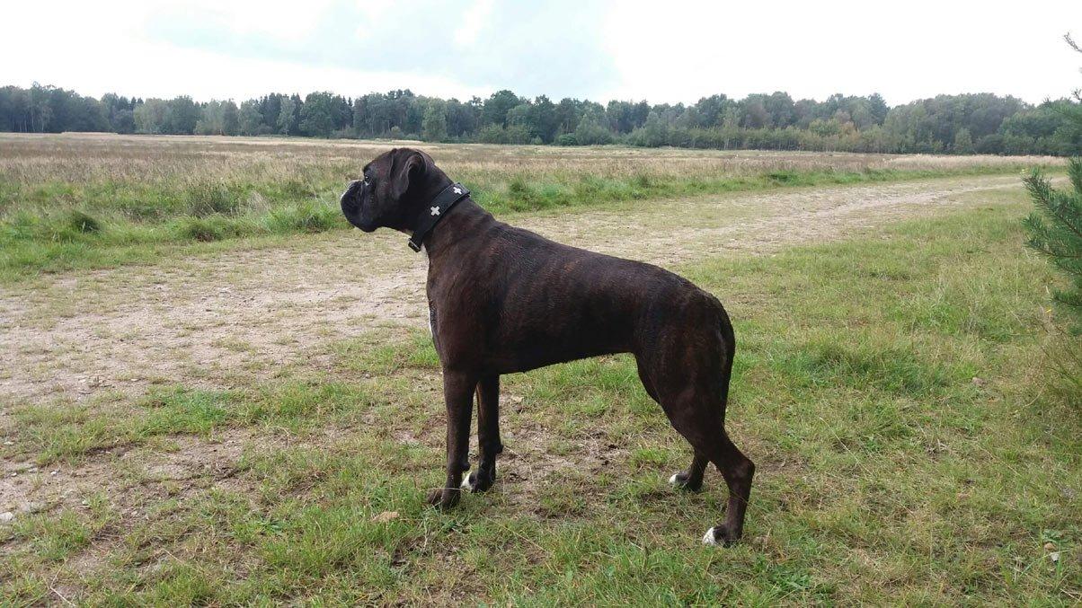 deutscher Boxer Hund